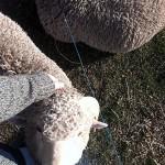 Es gibt viele, viele Schafe hier