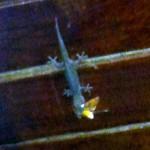 Ein Gecko mit frisch erlegter Beute