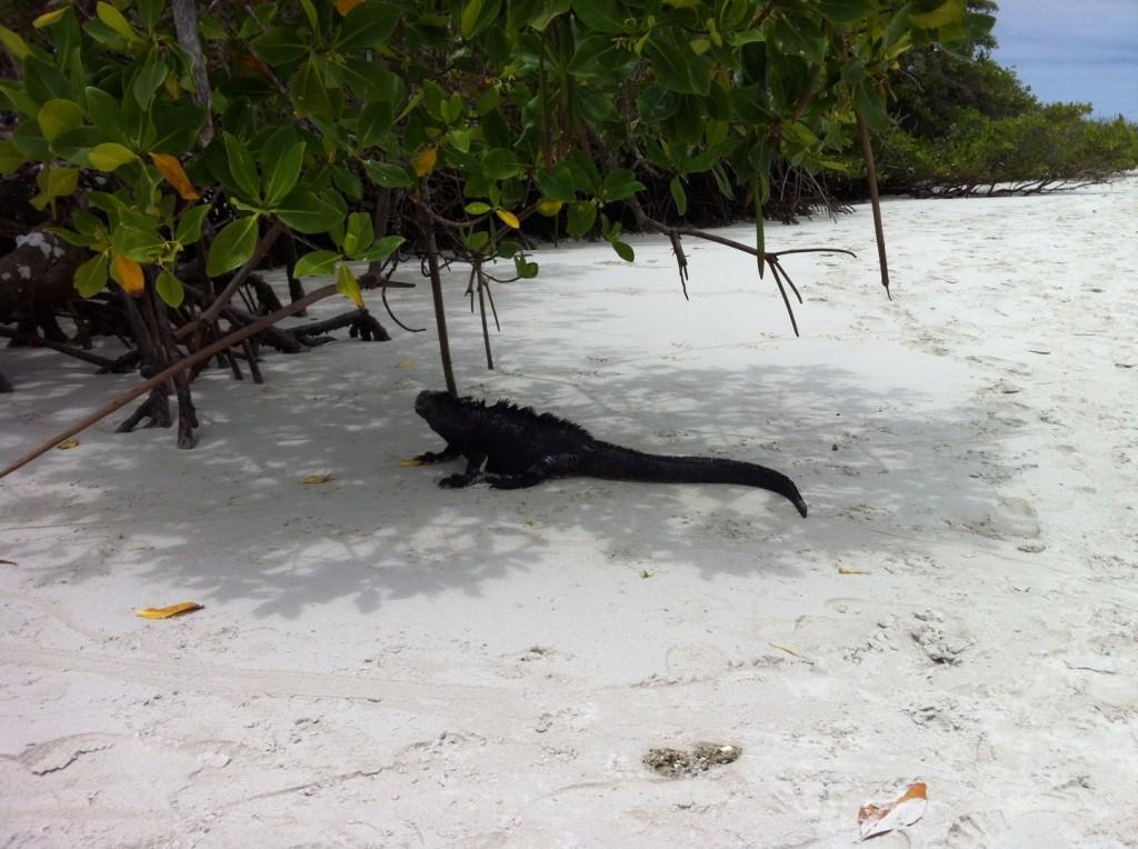 Die einzige Echse der Welt, die schwimmen geht! Der Meeres-Iguana