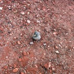 Darwin-Finke auf Galapagos-Inseln