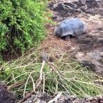 Galapagos-Riesenschildkröte