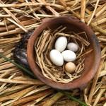 Die Eier der vorkommenden Vögel am Titicacasee und ein dazugehöriger Vogel