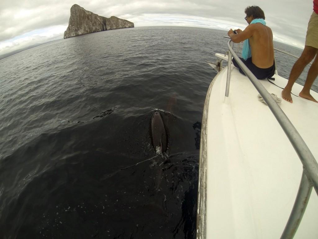 Delfine auf dem Weg zum Kicker-Rock auf den Galapgos Inseln (Im Hintergrund)