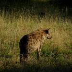 gefleckte Hyäne