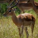 männlicher Impala