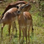 weiblicher Impala
