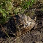 Leoparden-Schildkröte