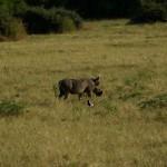Pumba :) (Warzenschwein)