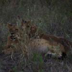 Löwen-Babies